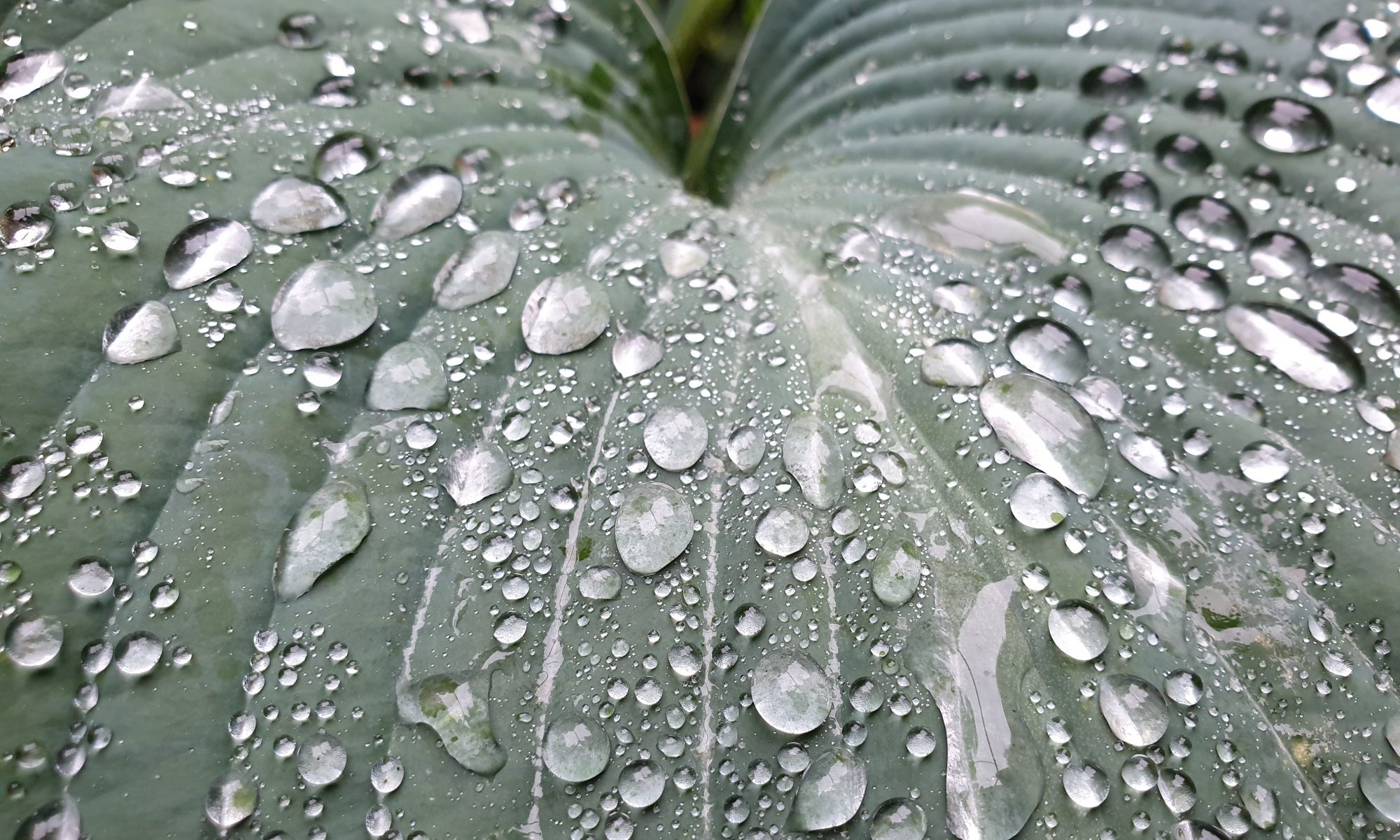 Big Hosta leaf with raindrops